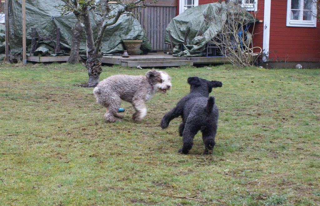 Två väldigt glada och positiva hundar som omedelbart fattade tycke för varandra